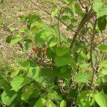 Tác dụng chữa bệnh gan tuyệt vời của cây an xoa